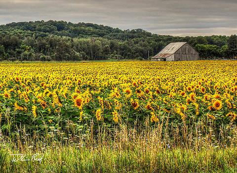 William Reek - Field of Sunflowers