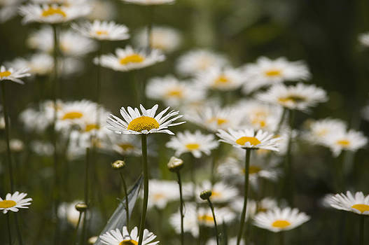 Field of White and Yellow by Chad Davis