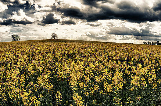 Fields of Gold by Tony Coleby