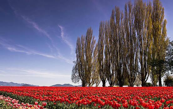 Fields of Tulip by Blanca Braun