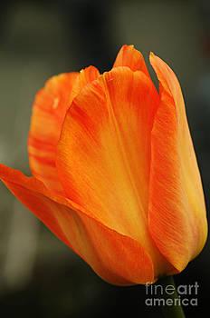Larry Ricker - Fiery Tulip