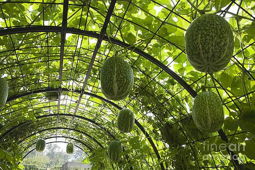 Fig Leaf Gourd by Paul Felix