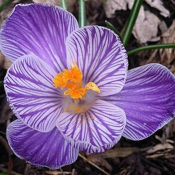 Finally... #crocus #spring by Cheryl Fallon