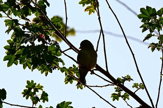 Finch by Diana Hatcher
