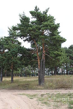 Fine pine by Evgeny Pisarev