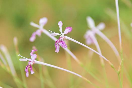 Hermanus A Alberts - Fine Pinks - Wild Flowers