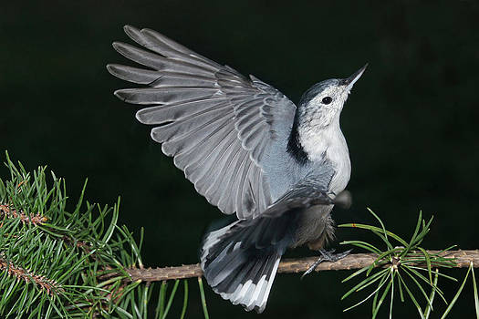 Leda Robertson - Finely-feathered Nuthatch