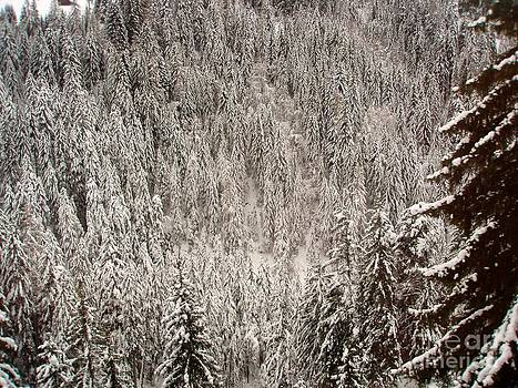 Fir Trees in Snow by Kate Stoupas