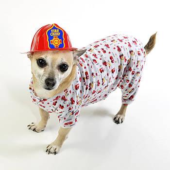 Fireman Chihuahua by Rebecca Brittain