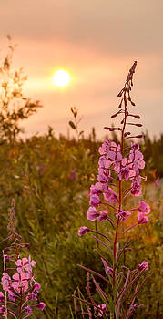 Fireweed and Sunsets by Valerie Pond