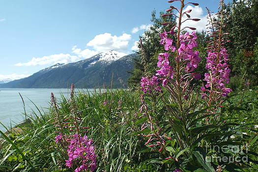 Fireweed at Yakutania Point by Barbara Von Pagel