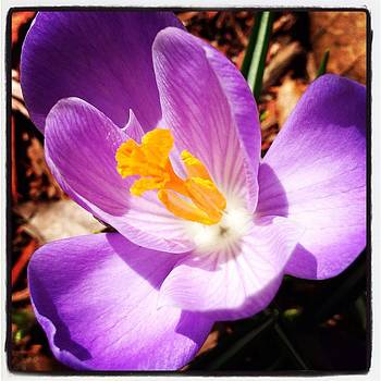 First Crocus by Heather Levesque