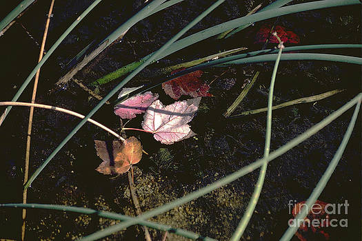 First Maple Leaves by Cheryl Wood