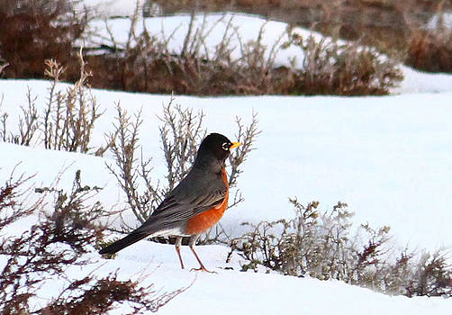 First Robin in Spring by Margaret  Slaugh