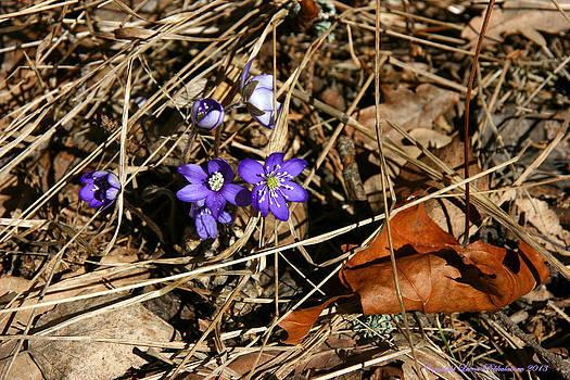 First Spring Flowers by Leena Pekkalainen