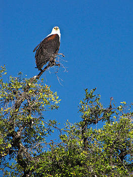 Fish Eagle by Karen E Phillips