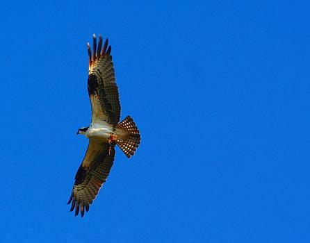 Fishhawk in Flight by April Wietrecki Green