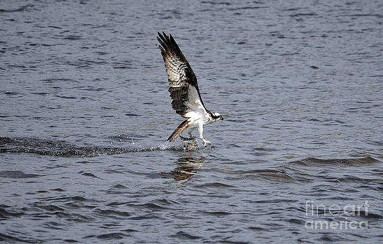 Fishing Osprey by Skye Ryan-Evans
