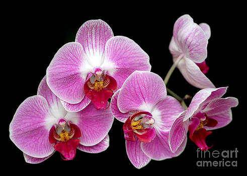 Sabrina L Ryan - Five Beautiful Pink Orchids