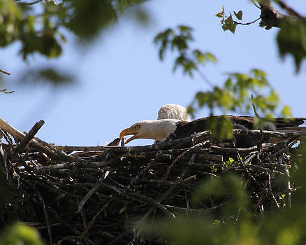 Fixing the nest.  by Bruce  Morrell
