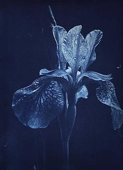 Susan Leake - Flag Iris after the rain