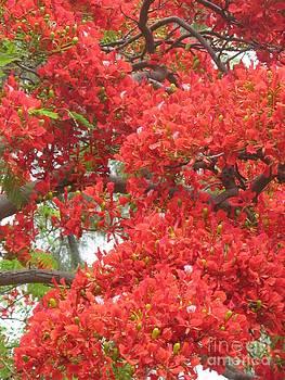 Flamboyant - Flowers - Ile De La Reunion - Reunion Island by Francoise Leandre