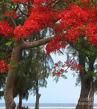 Flamboyant - Ile De La Reunion - Reunion Island by Francoise Leandre