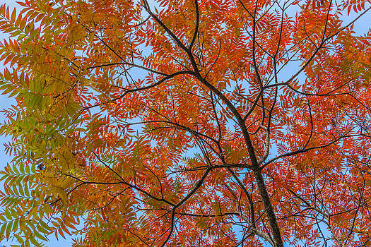 Flameleaf Sumac Mostly Changed from Green to Red by Steven Schwartzman