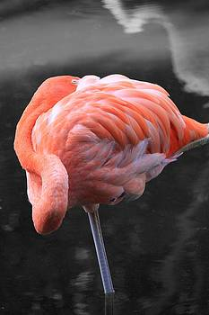 Flamingo  by AR Annahita