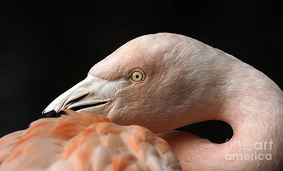 Flamingo by Cindi Ressler