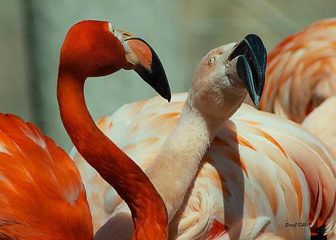 Flamingo Courtship by Stephen  Johnson