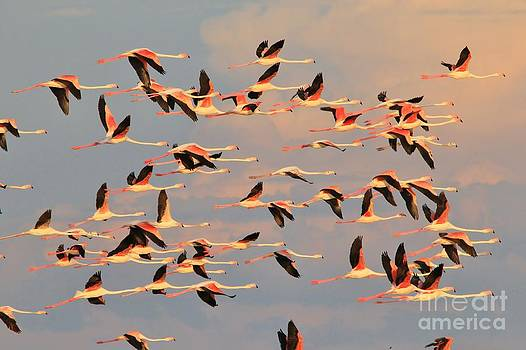 Flamingo Flight - Pink Skies by Hermanus A Alberts