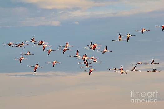 Flamingo Flight of Color by Hermanus A Alberts