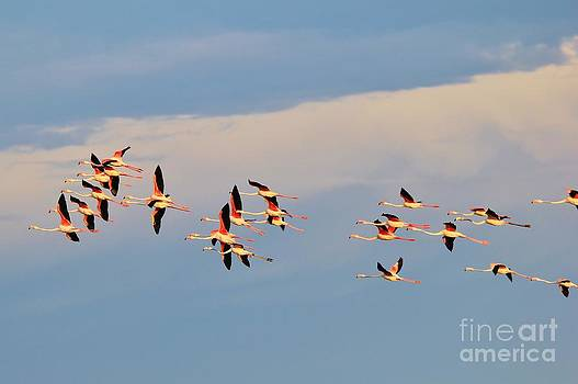 Flamingo Flight of Formation by Hermanus A Alberts