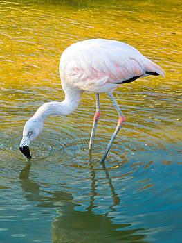 Mike Shaw - Flamingo
