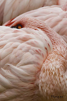 Flamingo by Phong An