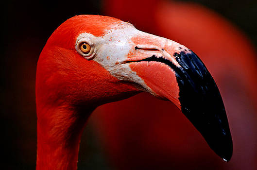 Flamingo Portrait by Lorenzo Cassina