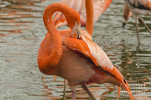 Darren Wilkes - Flamingo S