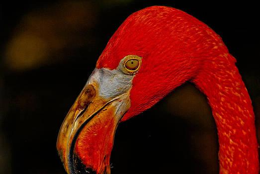 Flamingo1 by Jose Mena