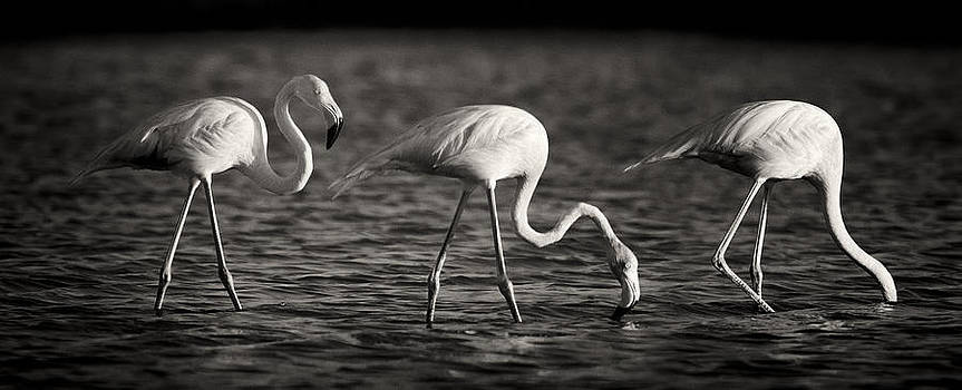 Adam Romanowicz - Flamingos Black and White Panoramic