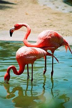 Flamingos by Danielle Godfrey