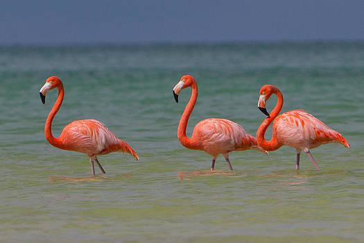 Flamingos by Joep K