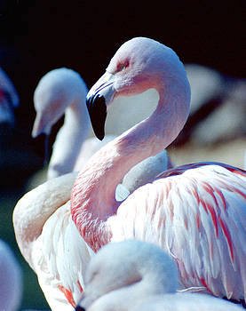 Flamingos by Lester Phipps
