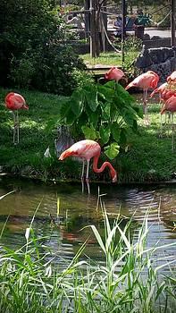 Flamingos by Ted Mahy