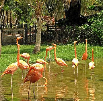 MTBobbins Photography - Flamingos Wading