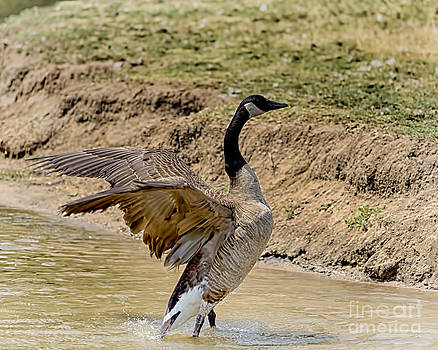Flapping Goose by Jeremy Linot