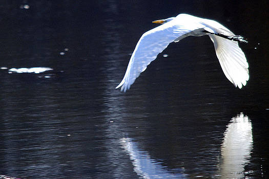 Flight of the Egret by Lee Yeomans