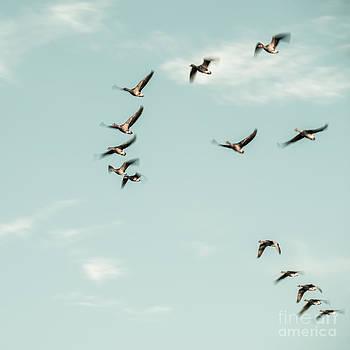 Hannes Cmarits - flight of the goose