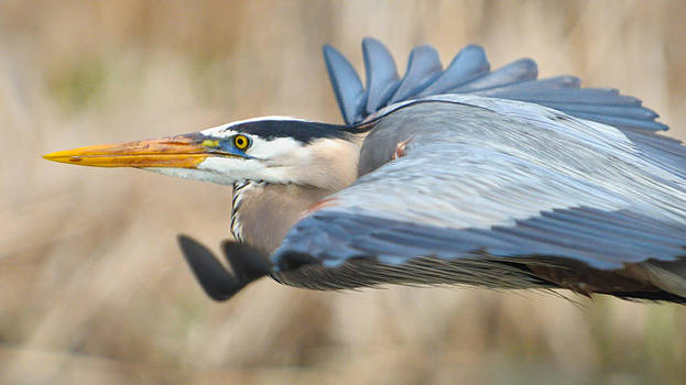 Flight of the Great Blue Heron by Jeff Picoult