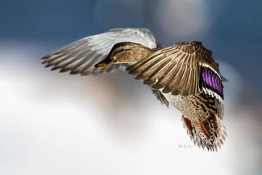 Flight of the Mallard by Bob Orsillo